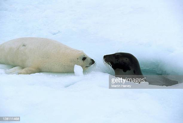Harp Seal pup, Phoca groenlandica, with adult in water at breathing hole. Gulf of St. Lawrence. Canada
