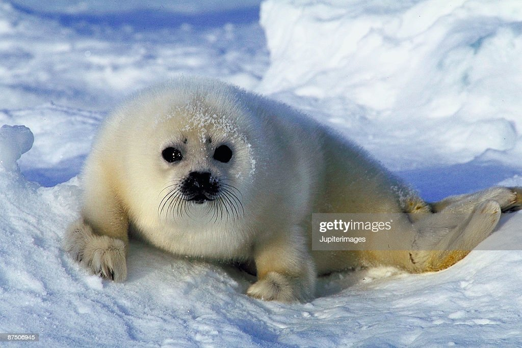 Harp seal pup : Stock-Foto