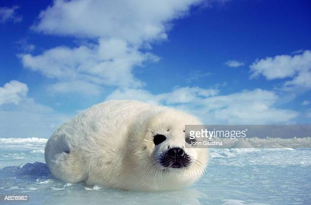 harp seal pup (pogophilus groenlandicus) - seal pup stock pictures, royalty-free photos & images