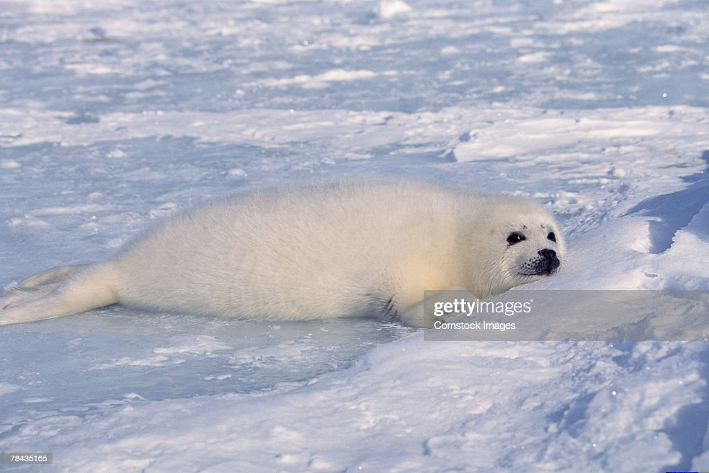Harp seal resting in snow , Canada : Stockfoto