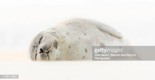 harp seal sleeping at jones beach, long island - seal pup stock pictures, royalty-free photos & images