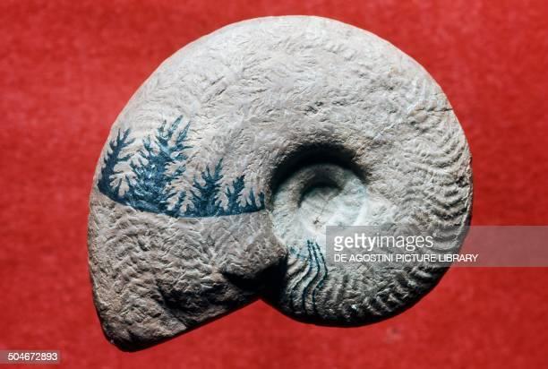 Harpoceras exaratum ammonite fossil Early Jurassic Como Lombardy Italy Milan Museo Civico Di Storia Naturale