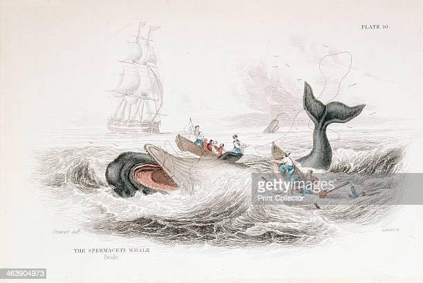 Harpooning a Sperm Whale from William Jardine The Naturalist's Library On the Ordinary Cetacea Edinburgh 1837