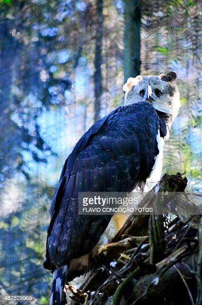 harpy bird - harpy eagle stock pictures, royalty-free photos & images