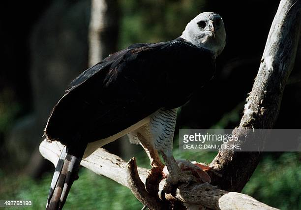 Harpy eagle Accipitridae