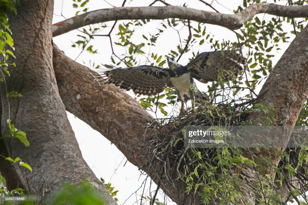 Harpy Eagle, Harpia harpyja, female at nest with six week old chick in Darien National Park, Panama : News Photo