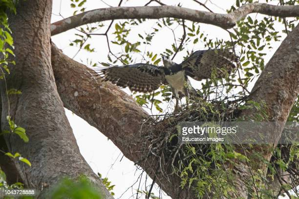 Harpy Eagle, Harpia harpyja, female at nest with six week old chick in Darien National Park, Panama.