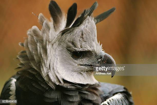 harpy eagle -harpia harpyja-, portrait, in an enclosure - harpij arend stockfoto's en -beelden