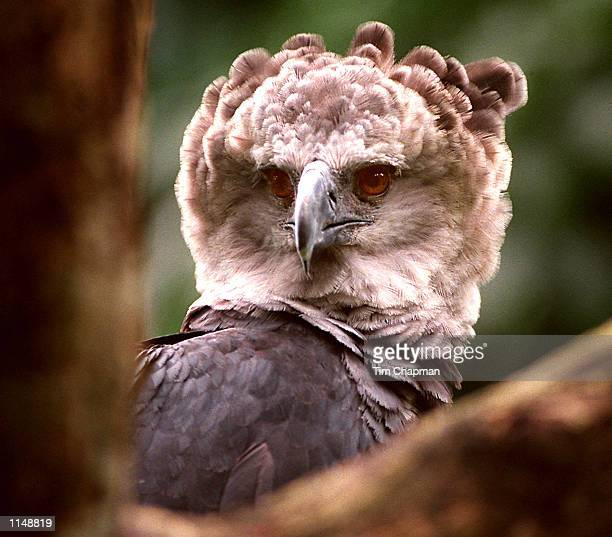 A Harpy Eagle in the Panamania Rain Forest The Harpy is the most powerful bird of prey in the world that needs large tracts of undisturbed lowland...
