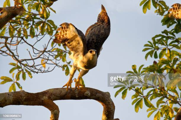Harpy Eagle (Harpia harpyia), juvenile, 15 months, flying off a branch, Amazon, Brazil
