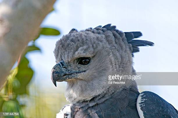 Harpy Eagle, (Harpia harpyja) Neotropical Eagle, Miami Metrozoo, Florida, USA