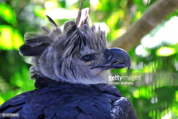 harpy eagle of the amazon - harpy eagle stock photos and pictures