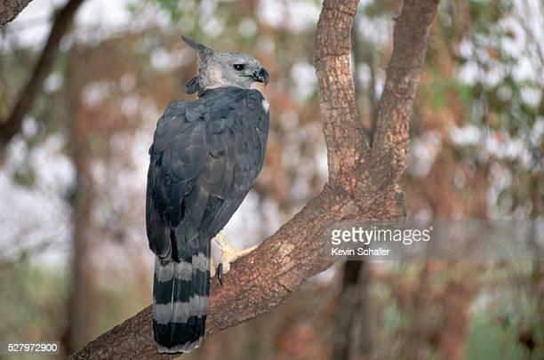 Harpy Eagle (Harpia harpyja) on a Tree Branch