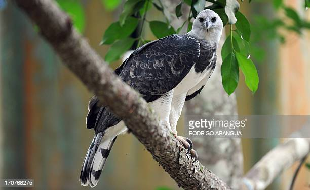 Harpy Eagle 'Panama', is seen at the Zoo Summit outside Panama City on June 17, 2013. The three-year old eagle --the first to be born in captivity at...