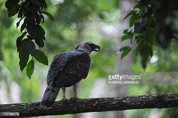 Harpy Eagle 'Panama' is seen at the Zoo Summit outside Panama City on June 17 2013 The threeyear old eagle the first to be born in captivity at the...