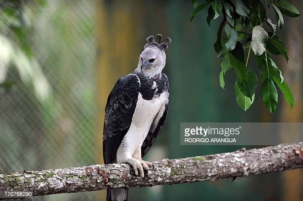 Harpy Eagle 'Panama', perches on a branch at the Zoo Summit outside Panama City on June 17, 2013. The three-year old eagle --the first to be born in...