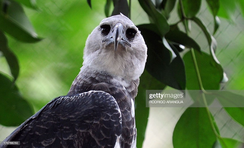 PANAMA-HARPY-EAGLE : News Photo