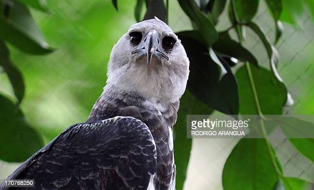 Harpy Eagle 'Panama' perches on a branch at the Zoo Summit outside Panama City on June 17 2013 The threeyear old eagle the first to be born in...