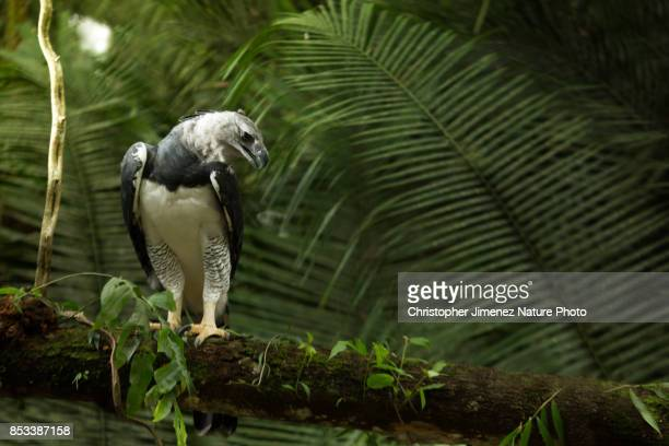 harpy eagle perched on a branch in the morning light in the amazon rainforest - christopher jimenez nature photo stock pictures, royalty-free photos & images