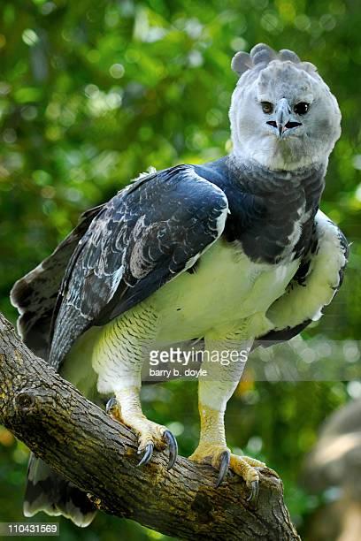 Harpy Eagle (captive)