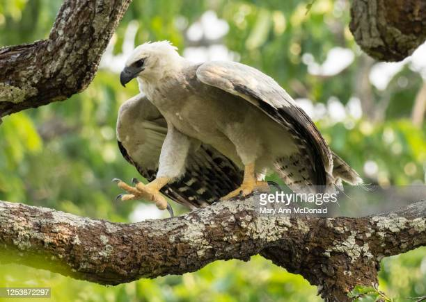 harpy eagle - harpy eagle stock pictures, royalty-free photos & images