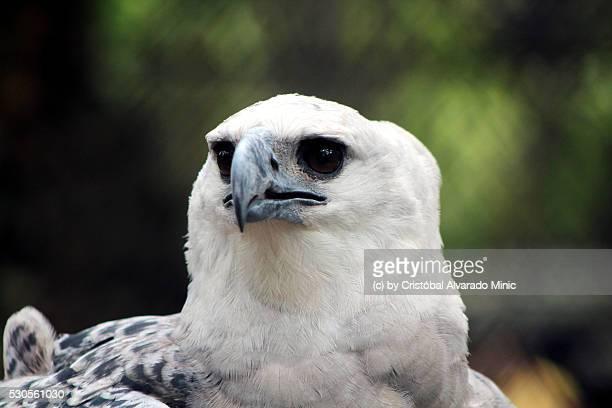 Harpy Eagle (Harpia harpija)