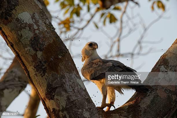 harpy eagle - harpij arend stockfoto's en -beelden
