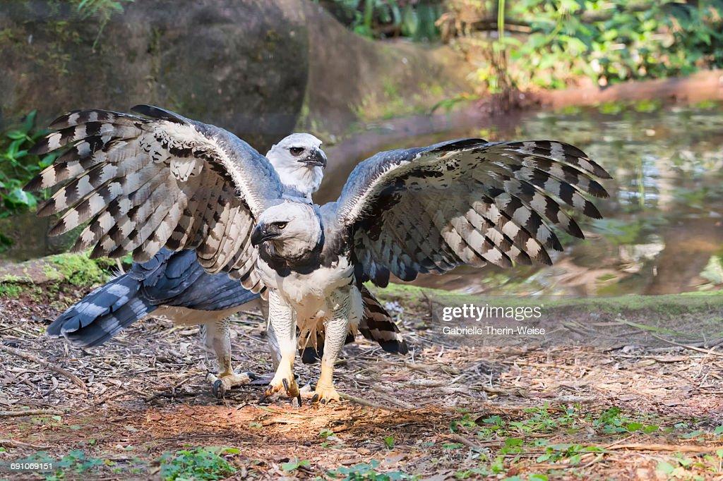 Harpy Eagle : Stock Photo
