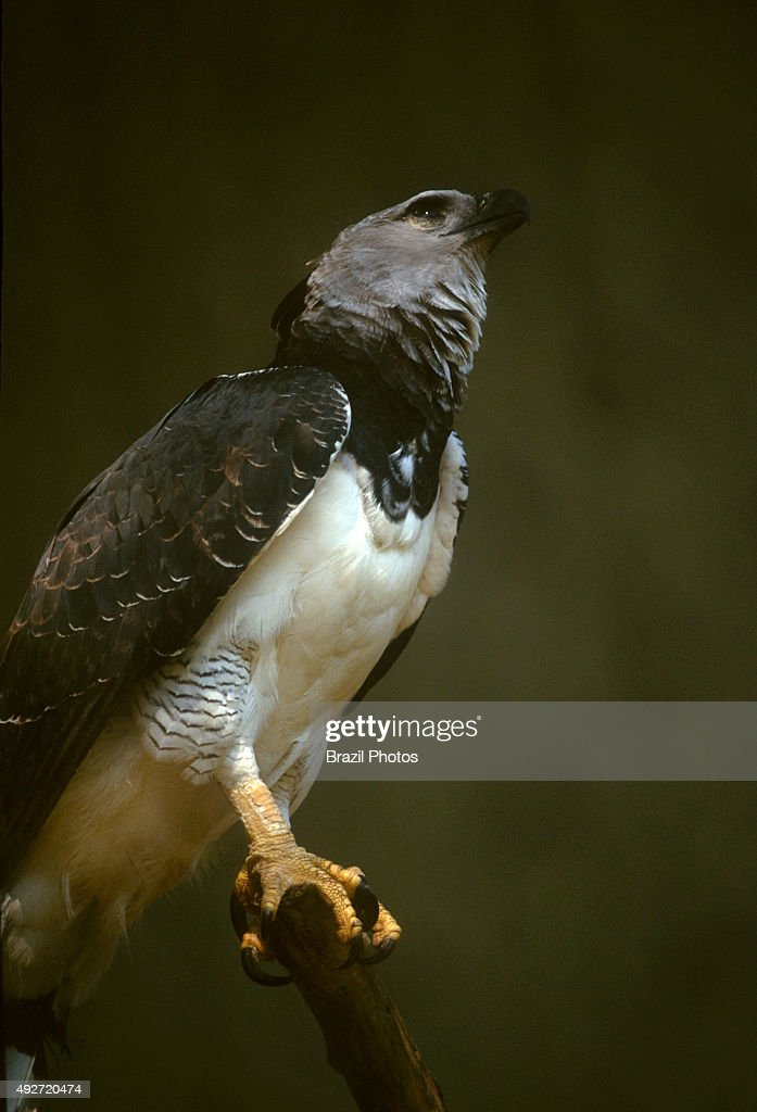 Gavião real ), the most powerful bird of prey in the world