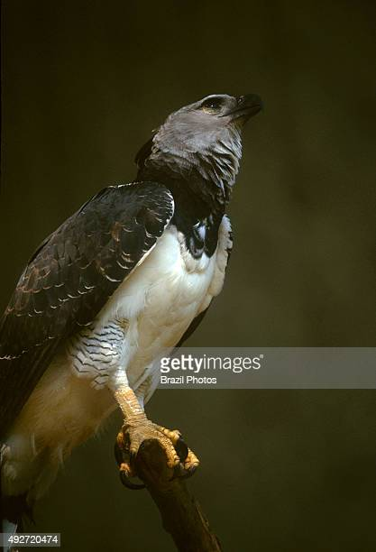 Harpy Eagle the most powerful bird of prey in the world Amazon rain forest Brazil