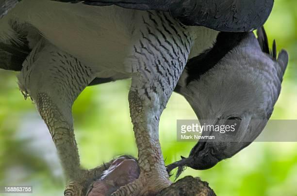 Harpy eagle,eating prey