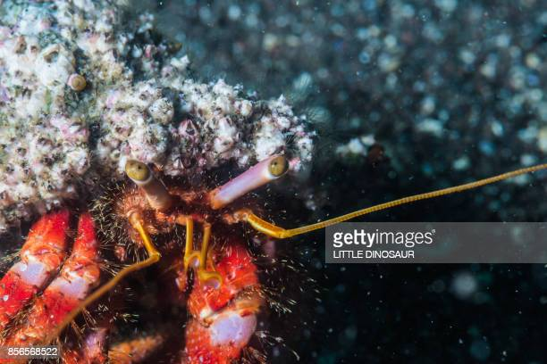 a harriet crab crawling on the sand reef. depth 18m. ose, shizuoka, japan - harriet stock photos and pictures