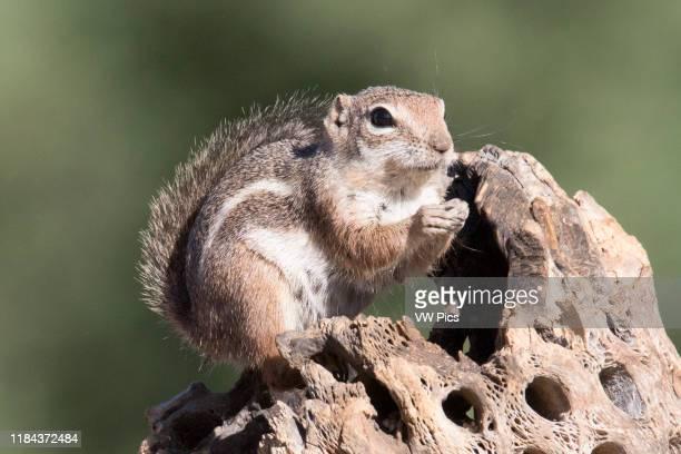 Harris Ground Squirrel eating Southern Arizona