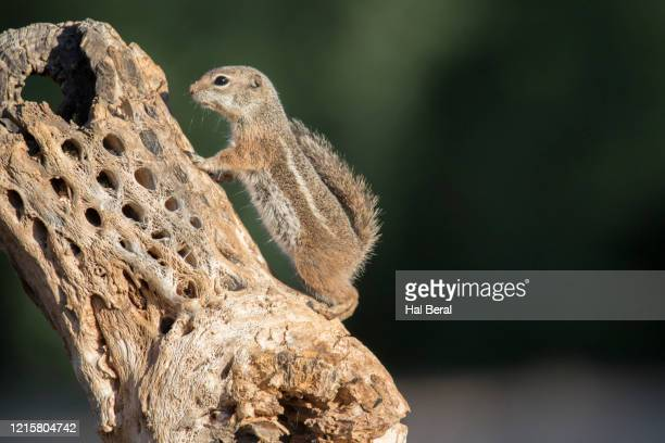 harris ground squirrel - sonoran desert stock pictures, royalty-free photos & images