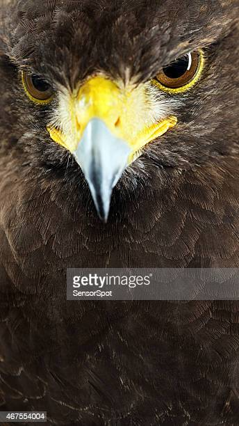 harris hawk close up portrait. - hawk stock photos and pictures