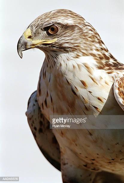harris hawk (parabuteo unicinctus), close-up - hawk imagens e fotografias de stock