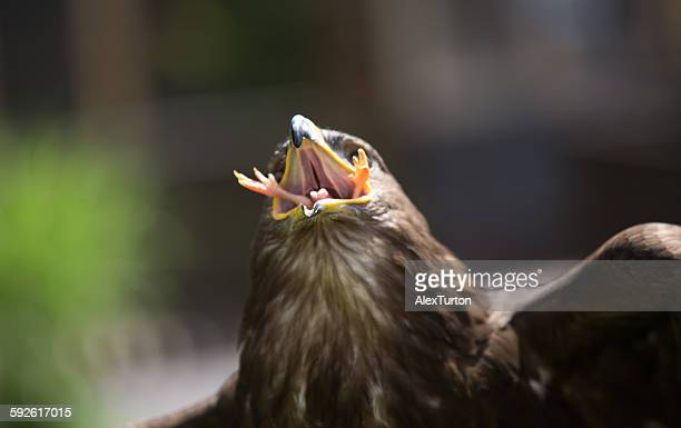 harris hawk eating a chick alive - hawk stock photos and pictures