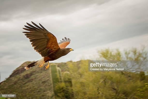 harris hawk flight - harris hawk stock photos and pictures