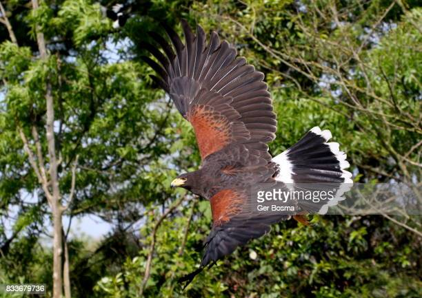 harris hawk (parabuteo unicinctus) flying by - harris hawk stock photos and pictures