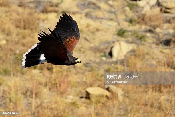 harris hawk in flight - harris hawk stock photos and pictures