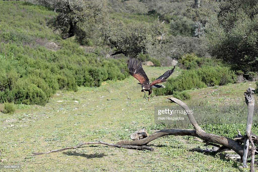 Harris hawk  in flight : Foto de stock
