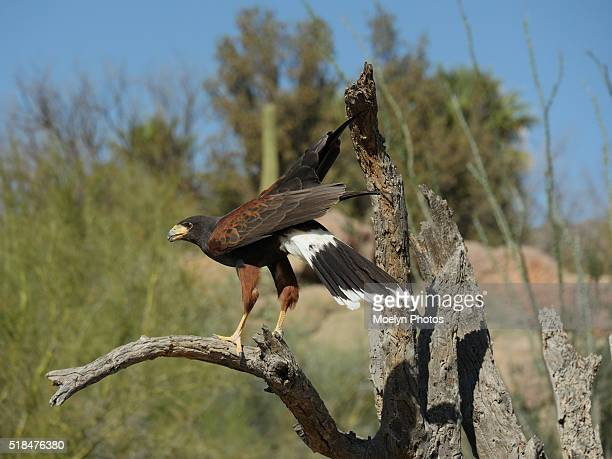 harris hawk in the desert - harris hawk stock photos and pictures