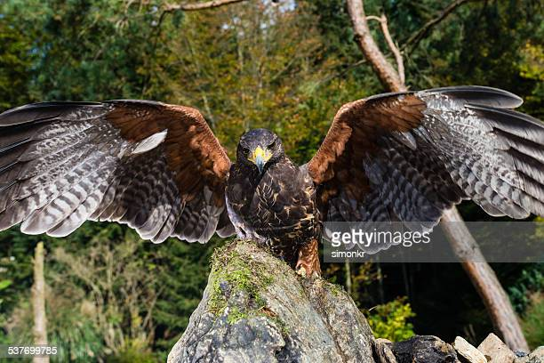 harris hawk landed on the rock - harris hawk stock photos and pictures