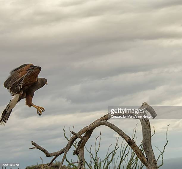 harris hawk landing - arizona bird stock pictures, royalty-free photos & images