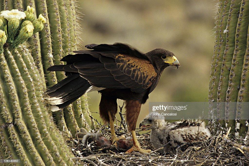 Harris Hawk, Parabuteo unicinctus, and chicks on nest in Saguaro cactus, Sonoran Desert, Arizona, USA : Stock Photo