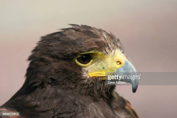 Harris Hawk Parabuteo unicinctus