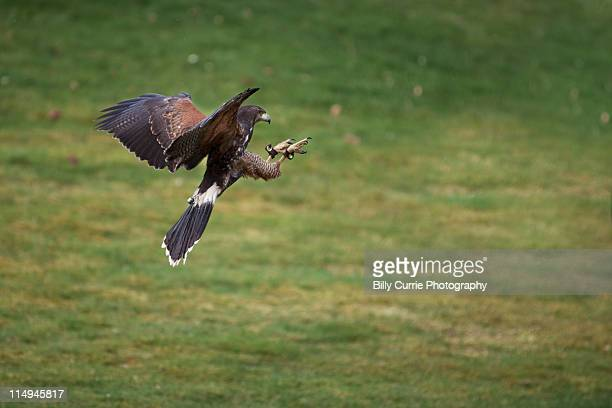 harris hawk - harris hawk stock photos and pictures