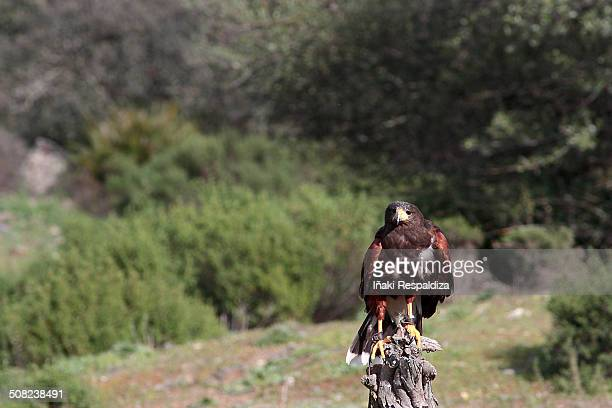 harris hawk - iñaki respaldiza stock pictures, royalty-free photos & images