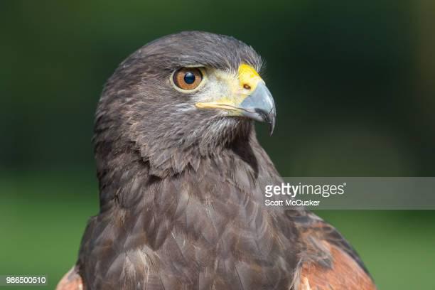 harris hawk portrait - harris hawk stock photos and pictures
