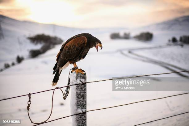 Harris Hawk sits on a fence prior to its owner using it to hunt for rabbits in the snow on January 18 2018 in Leadhills Scotland Motorists are being...